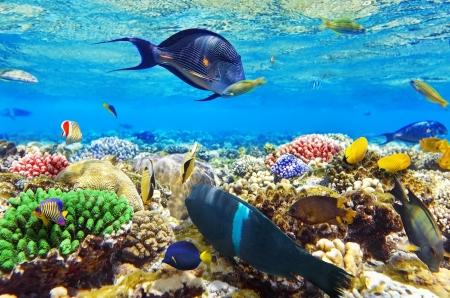 corales marinos: Coral y pescados en el Sea.Egypt Red