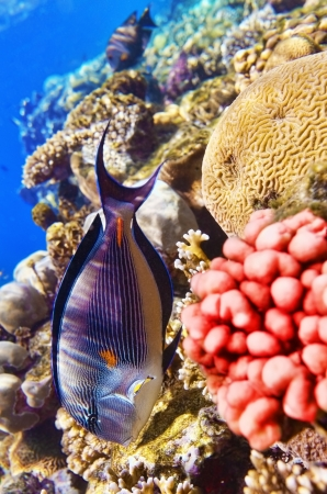 reefscape: Coral and fish in the Red Sea.Fish-surgeon Stock Photo
