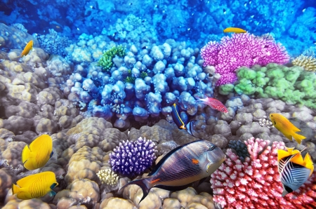 red coral colony: Coral and fish in the Red Sea.Egypt Stock Photo