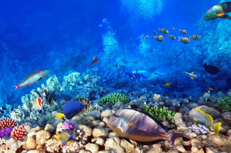 red coral colony: Scuba divers, coral and fish in the Red Sea Egypt