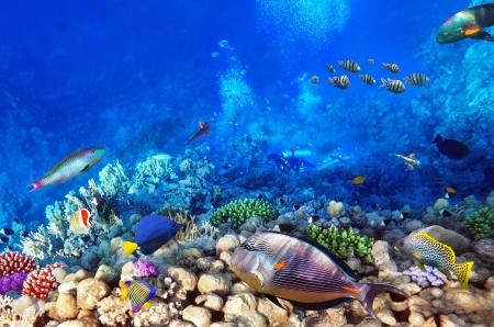 aquarium fish: Scuba divers, coral and fish in the Red Sea Egypt