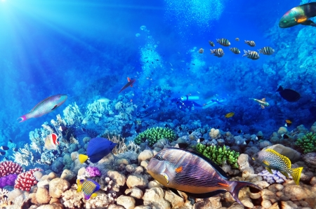 under the sea: Scuba divers, coral and fish in the Red Sea.Egypt