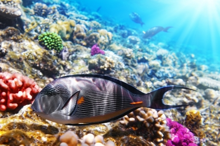 reefscape: Coral and fish in the Red Sea.Fish-surgeon.Egypt