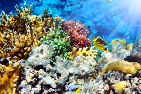reefscape: Coral in the Red Sea.Masked and diagonal butterfly.Egypt