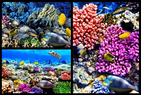 Coral and fish in the Red Sea  Egypt, Africa  Collage   photo