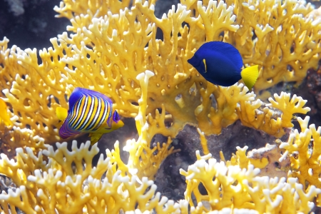 Coral Cnidarians,Angel-fish and Zebrasoma photo