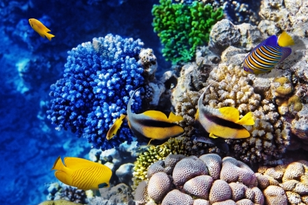live coral: Coral and fish in the Red Sea  Egypt, Africa