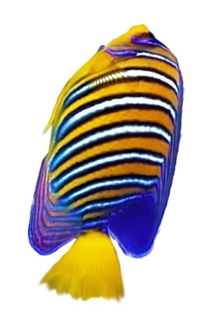 royal angelfish: Angelfish. Isolated over white background.