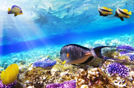 live coral: Coral and Fish-surgeon  in the Red Sea. Egypt, Africa Stock Photo