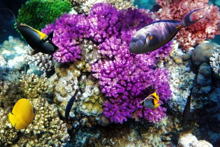 Coral and fish in the Red Sea. Egypt, Africa photo