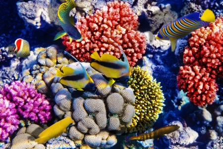 red coral colony: Coral and fish in the Red Sea. Egypt, Africa