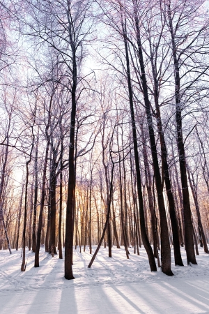 The snow-covered forest  in winter park  photo