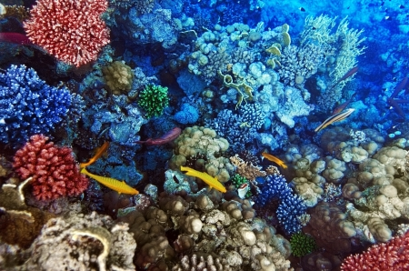 Coral and fish in the Red Sea  Egypt, Africa photo
