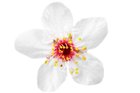 flor de durazno: Rama con flores aisladas sobre fondo blanco Foto de archivo