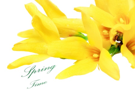 Forsythia flowers on white background. Isolated. photo