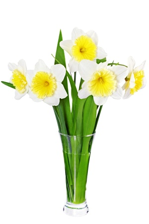 Beautiful spring flowers in vase: yellow-white narcissus (Daffodil). Isolated over white.  photo