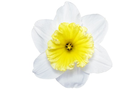 Beautiful spring single flower: white  narcissus (Daffodil). Isolated over white.   photo