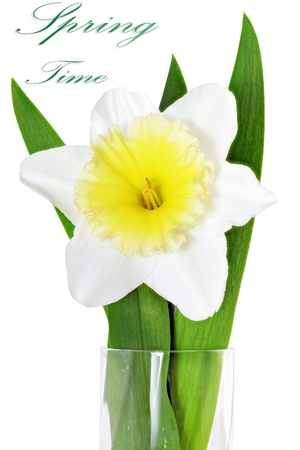 Beautiful spring single flower  yellow-white narcissus  Daffodil   Isolated over white