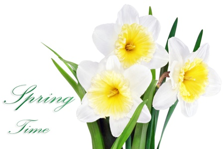 Beautiful spring three  flowers   yellow-white narcissus  Daffodil   Isolated over white   photo