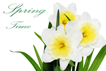 Beautiful spring three  flowers : yellow-white narcissus (Daffodil). Isolated over white.  photo