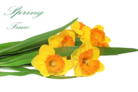 Beautiful spring three  flowers : orange narcissus (Daffodil). Isolated over white.  photo