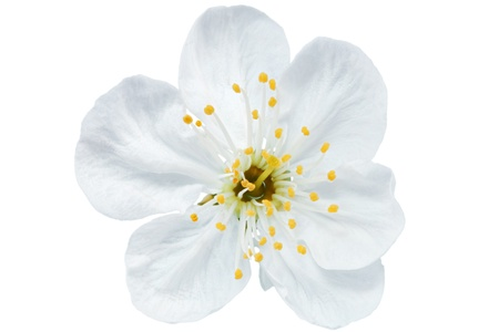 Single flower of cherry   Isolated on white background photo