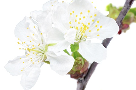 Branch of sprig with blossoms  Isolated on white background photo