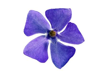 1 つの紫色の花。白い背景の上のクローズ アップ。分離されました。