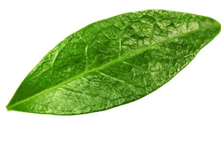 teepflanze: Gr�nes Blatt auf wei�em Hintergrund.