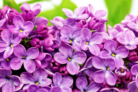 Beautiful Bunch of Lilac close-up . Stock Photo - 19140900