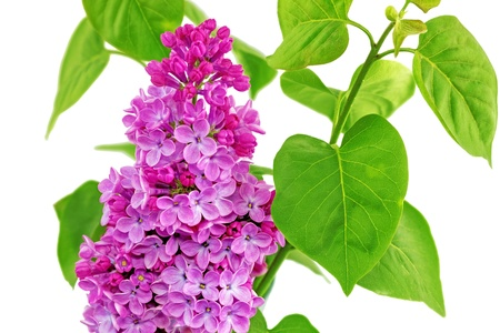 Beautiful   Lilac in the Vase. Isolated over white. photo