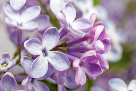 Beautiful Bunch of Lilac close-up   Stock Photo - 19579352
