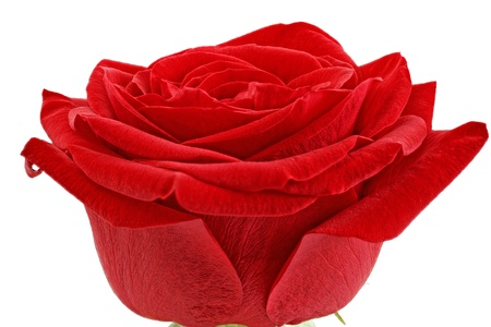 Beautiful single red  rose flower  Isolated  Stock Photo