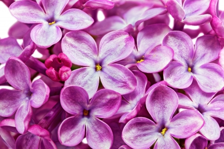 Beautiful Bunch of Lilac close-up . photo