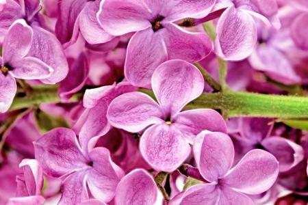 Beautiful Bunch of Lilac close-up . photo