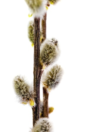 Branches of the pussy willow with flowering bud.Isolated photo