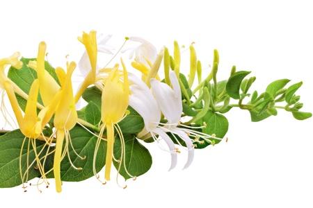 Bloeiende wit-geel Kamperfoelie (Wilde wingerd). Geïsoleerd op een witte achtergrond. Stockfoto