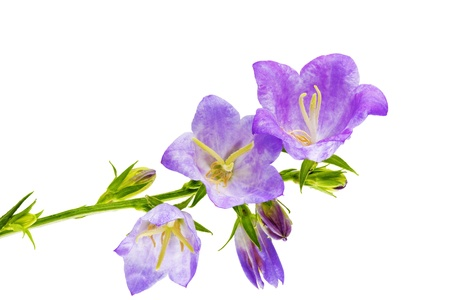 Bluebell on the white background  Close-Up Isolated photo