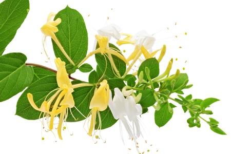 Flowering white-yellow Honeysuckle Woodbine   Isolated on white background  photo
