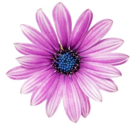 stamens: Single flower of Gazania   Splendens genus asteraceae  Isolated