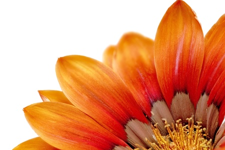 gerbera: Single flower of Gazania. (Splendens genus asteraceae).Isolated.