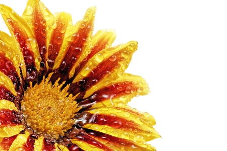 Single flower of tiger Gazania with drops. (Splendens genus asteraceae).Isolated photo