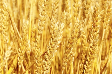 Field of golden rye close-up. Stock Photo - 20203125