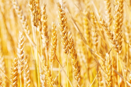Field of golden rye close-up. Stock Photo - 20203188