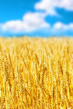 Field of golden rye close-up. Stock Photo - 20203189