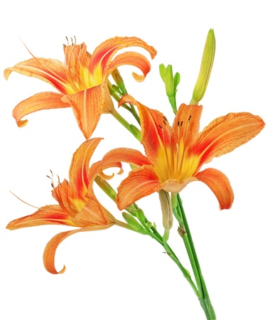 Tiger(striped) lilies on white background. Isolated. photo