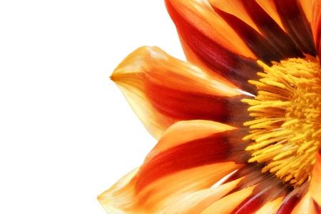 splendens: Single flower of Gazania. (Splendens genus asteraceae).Isolated.