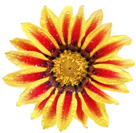 splendens: Single flower of tiger Gazania with drops. (Splendens genus asteraceae).Isolated Stock Photo