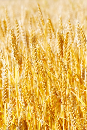 Field of golden rye close-up. Stock Photo - 20567566