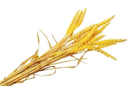 barley head: Wheat ears ilie.  Isolated on white background.